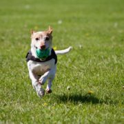 Dog fetching ball and running in green grass
